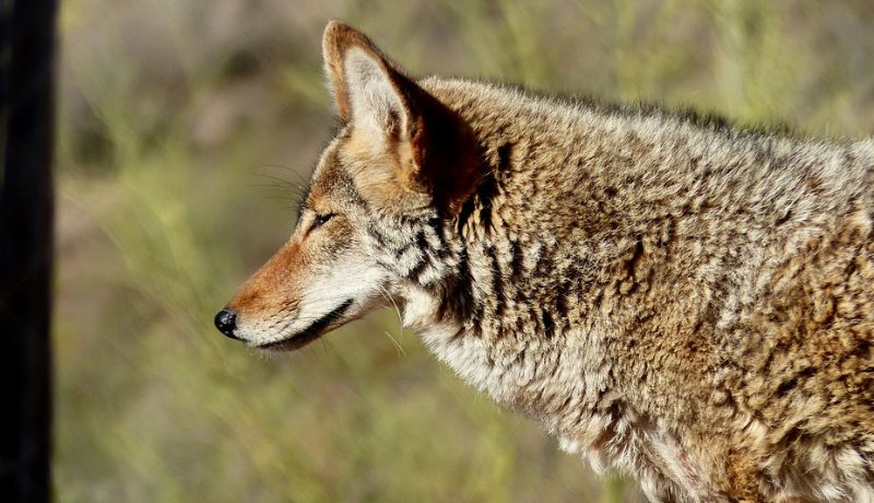 What Problems and Threats Do Coyotes Pose?